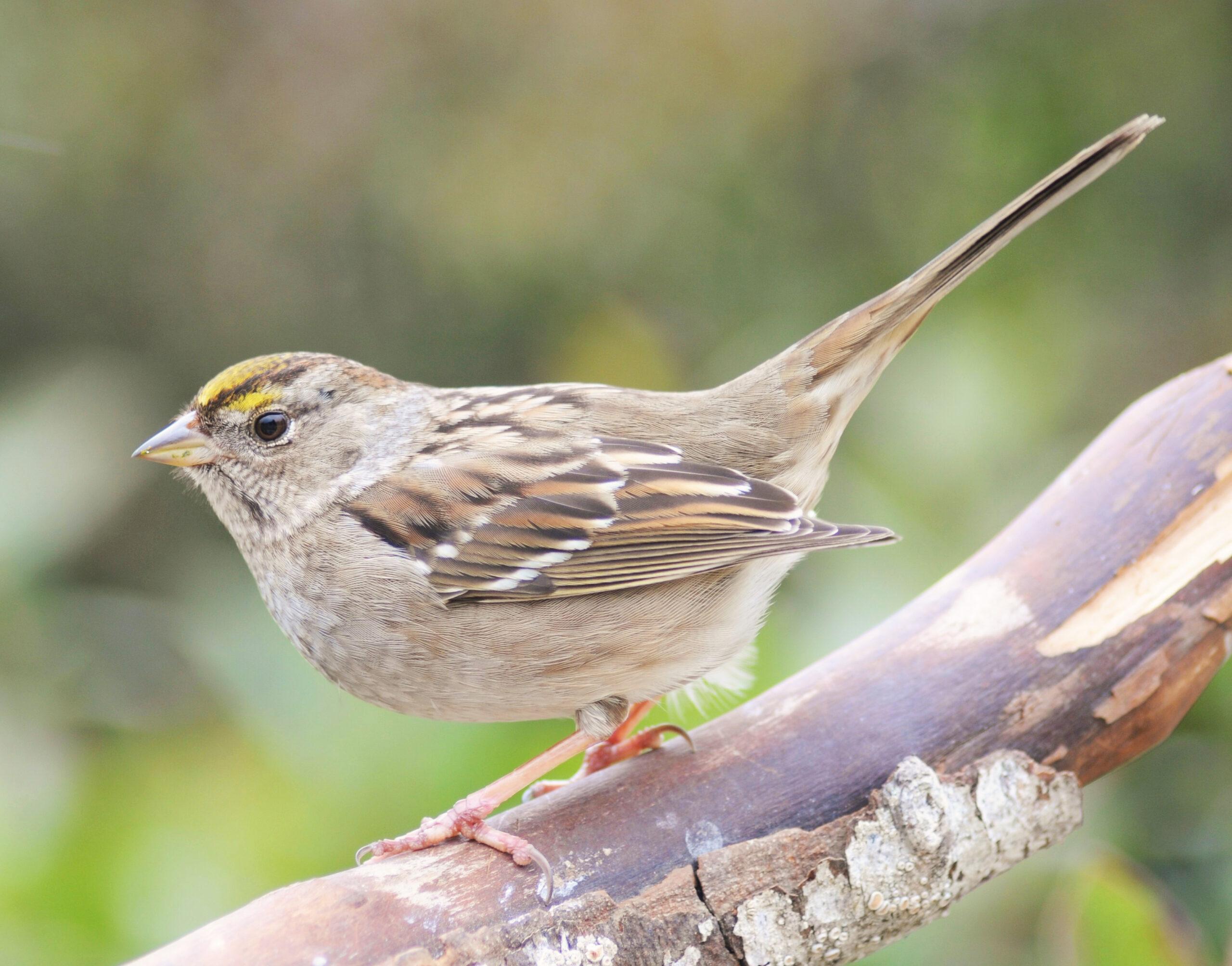 sparrow found in wildlife area