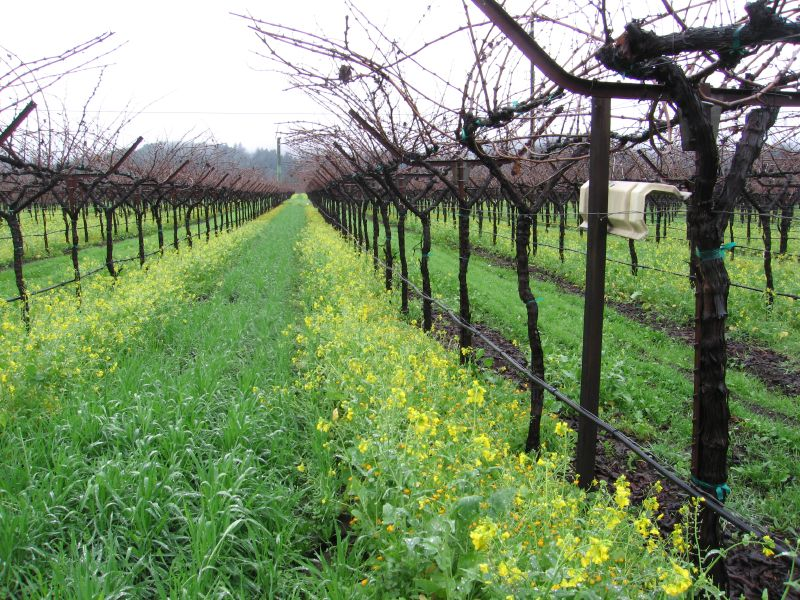 Cover crop in vineyard