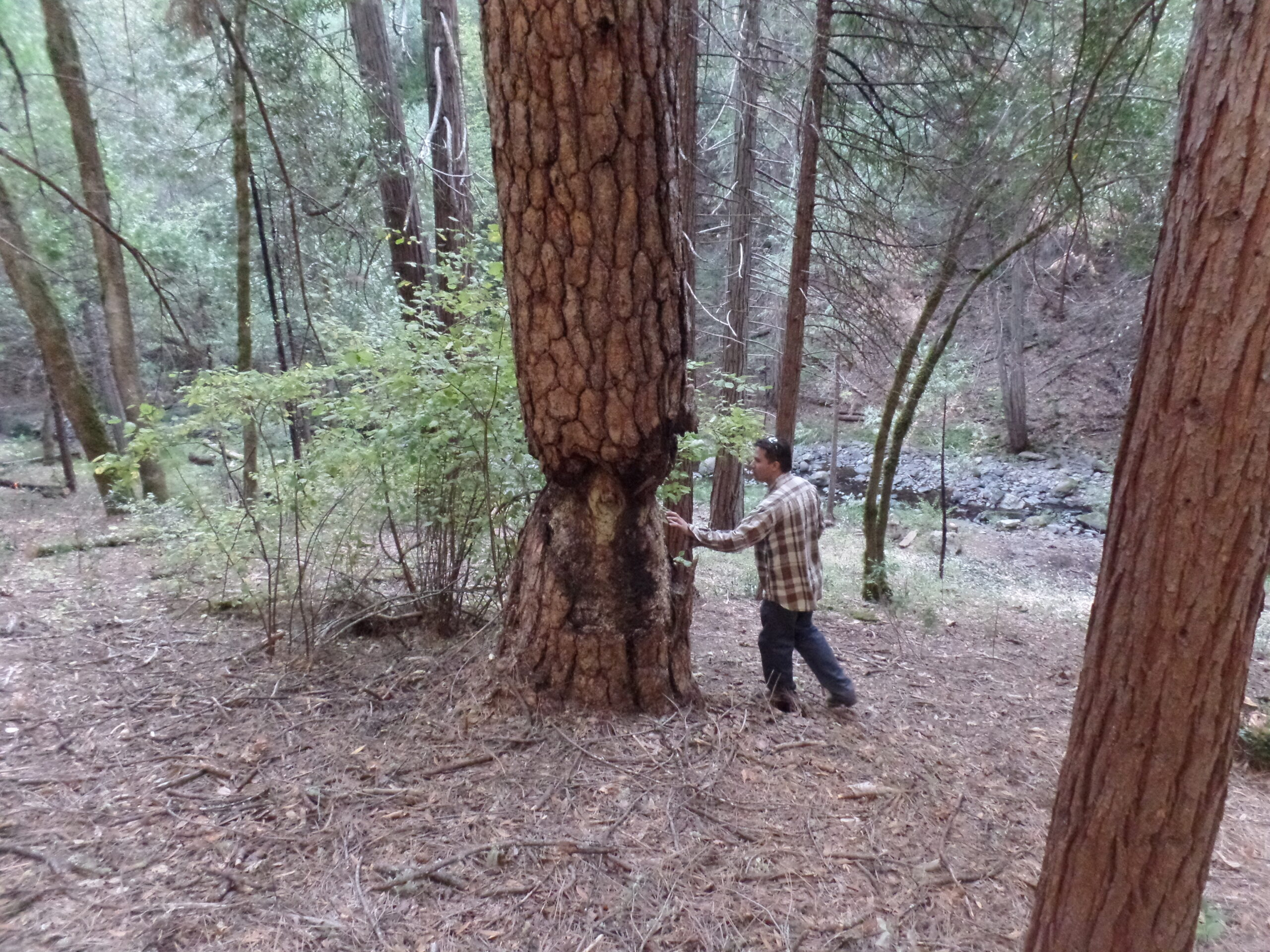 Staff person puts hand on large pine with damage near from trunk