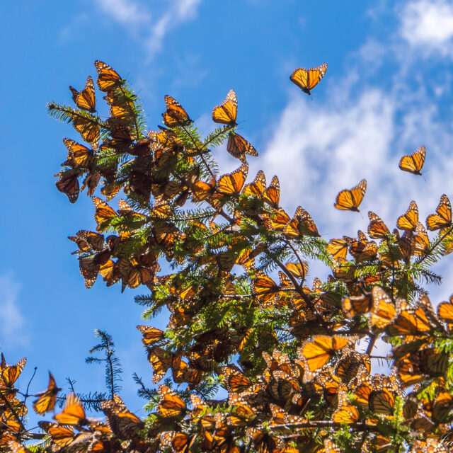 Monarch Butterflies on tree branch in blue sky background at overwintering site