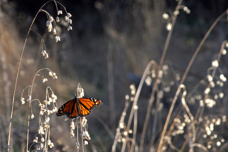 single western monarch butterfly perched on brown grass stalk