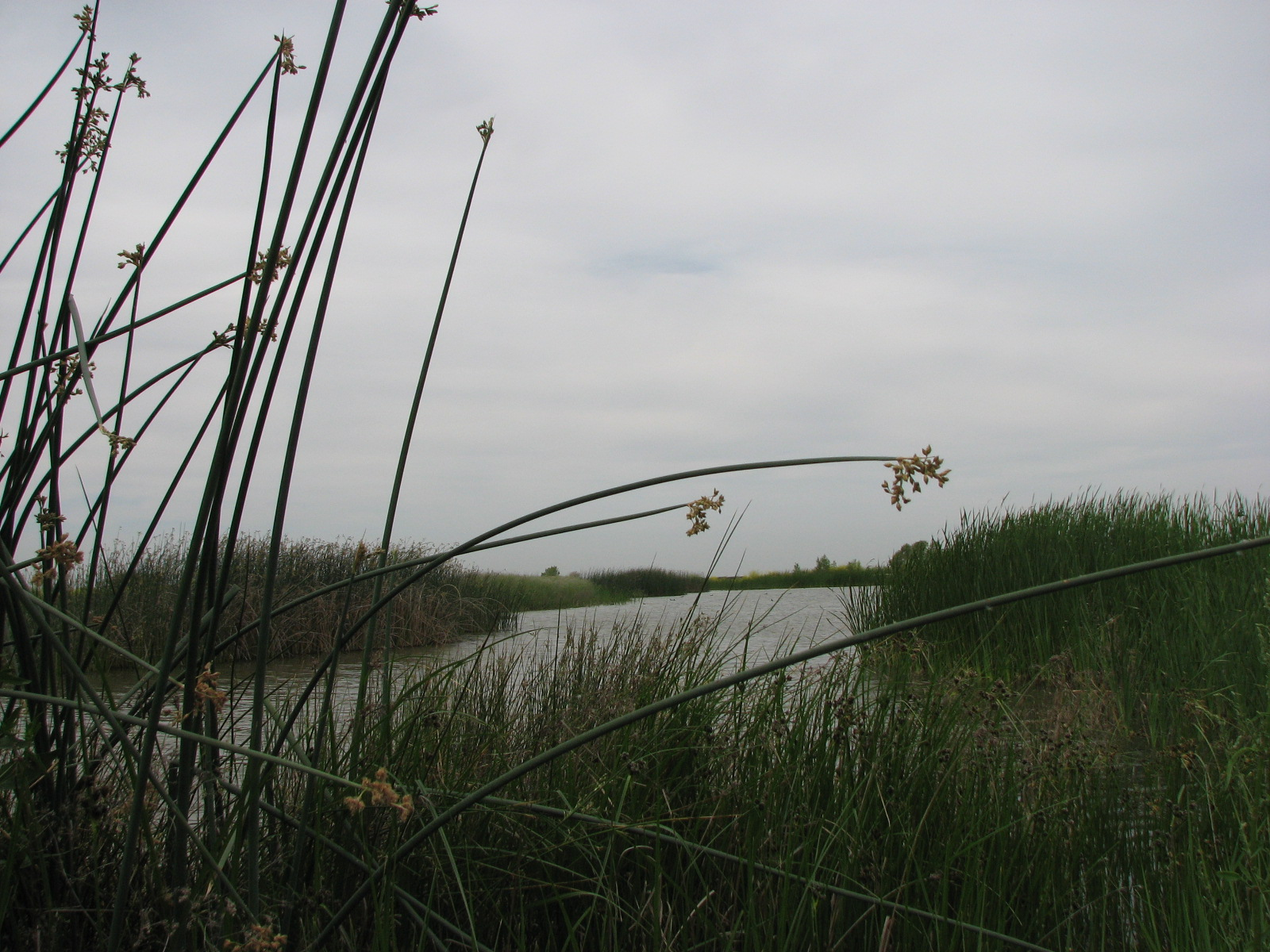 wetland landscape shot with reeds, water, and cloudy sky